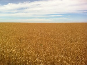 Camino de Santiago Ramond fields of gold