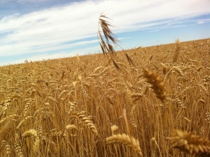 Camino de Santiago Ramond fields of gold closeup